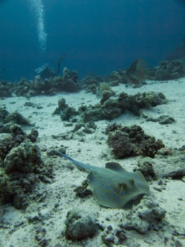 This beautiful Blue Spotted Stingray seemed to be quite used to passing divers
