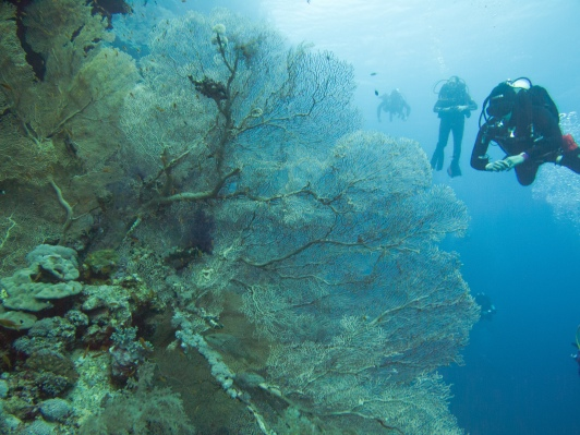Huge coral fans populate the reef of Elphinstone