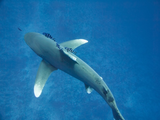 My love - the Oceanic Whitetip