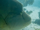 A Napoleon Wrasse - enormous and curious! Divers used to feed them eggs, they loved it but they started to die - now they still come up close, but we certainly won't feed them