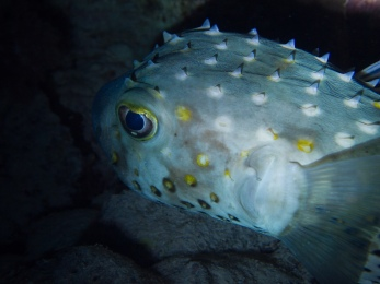 Porcupinefish - there were many, and Sandra loved pointing them out!