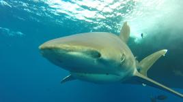 shark-closeup