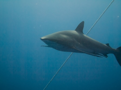 Silky shark! Notice the hook in her mouth - showing that even at these pristine places our impact is noticeable