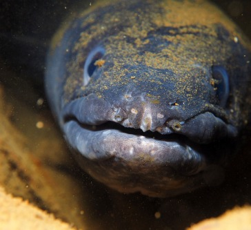 A congor eel was doing its best not to get noticed, but the glimmer on its eye gave it away