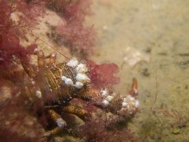 Galathea crab