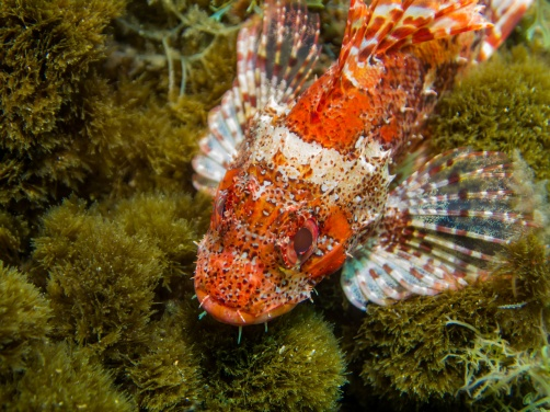 Colourful scorpionfish