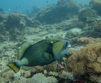 Seeing the size of this triggerfish, there is plenty of food around
