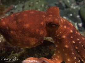 ...octopuses...