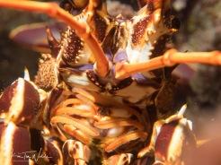 Lobsters...