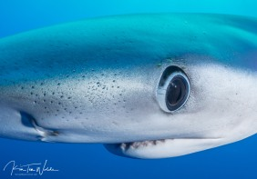 You can really see the iris in the eye! And in real life, you see it moving as the shark checks you out!