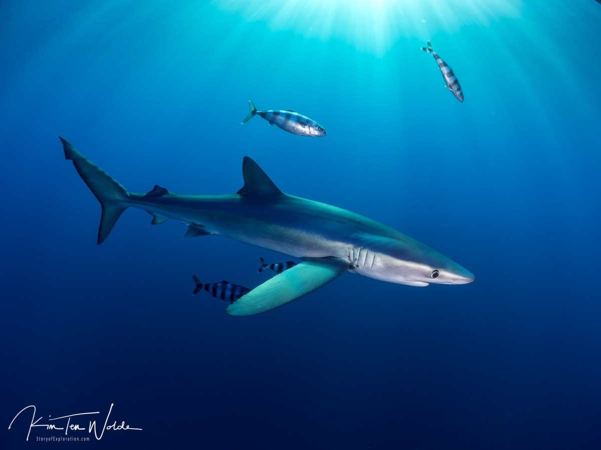The blue sharks of Pico