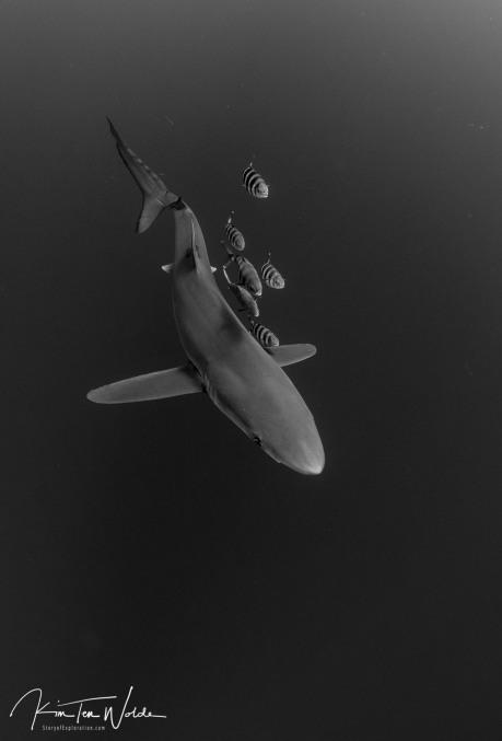 The elegance of the blue shark