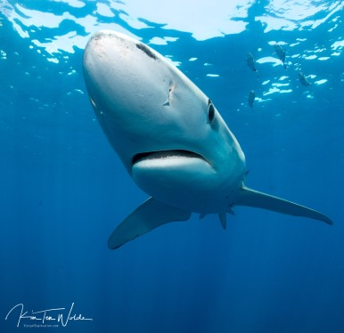 Blue sharks are like puppies!